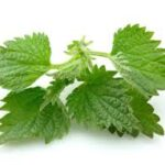 Nettle for clean liver 150x150 - alfalfa-to-herb-for-slimming