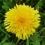 dandelion magic herb for everyone 4 150x150 - juices for cleaning the kidneys