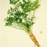 parsley like drug 150x150 - sage-herb-very-healthy-must-use-it